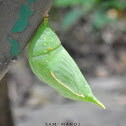 Common Duffer (Pupa)