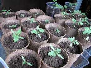Photo: Geçen yıldan elimizde kalanlar ve bu yıl bulabildiklerimizi yine kullandık... Bunlar çok nazlı büyüyen Hatay (Sıdıka Kurt) tohumları...
