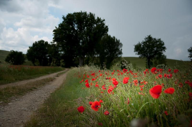 Poppies di gabrielecollini