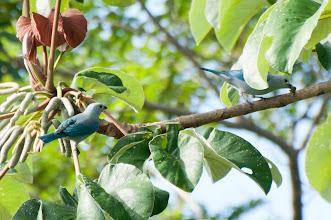 Photo: Blue-grey Tanager (Bischofstangare); Bacalar, QR