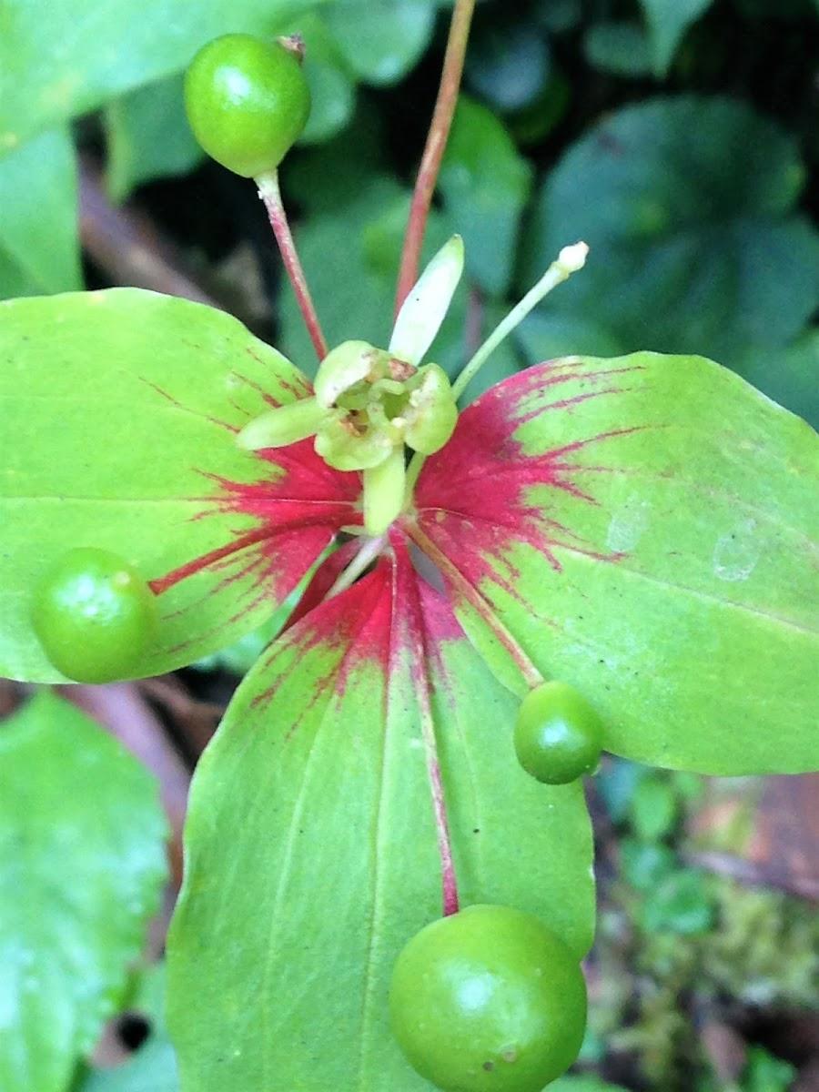 Indian Cucumber-root