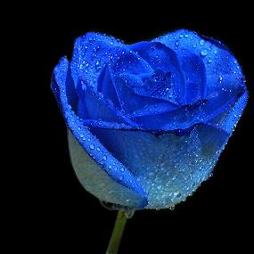 Blue Rose by Anika McFarland - Flowers Single Flower ( rose with dew, rose, blue rose with dew, blue rose, rose bud,  )