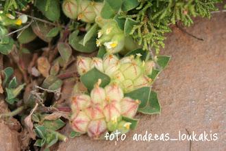 "Photo: Ανθυλλίς η τετράφυλλη  (Τripodion tetraphyllum) Βρίσκεται στο στάδιο που ανοίγουν τα μικρά ""σακουλάκια"" για να βγεί το άνθος"
