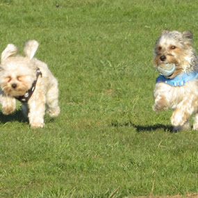 Copper and Penny Enjoying the Park by Karen Dayton - Animals - Dogs Running ( canine, rocky hill, morkies, copper and penny, dog park, dogs, running, ct, tennis ball,  )