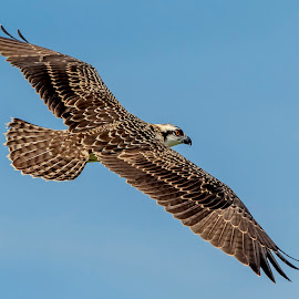 Osprey in the Adirondacks by Debbie Quick - Animals Birds ( raptor, birds of prey, debbie quick, nature, adirondacks, bird, osprey, animal, debs creative images, wildlife )
