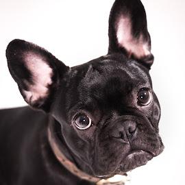 Matilda by Vix Paine - Animals - Dogs Portraits ( bulldog, big ears, french bulldog, white background, best friend, puppy, dog, nose, portrait, expressions, animal, eyes )