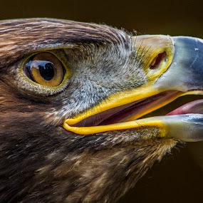 Golden eagle (Aquila chrysaetos)  by Ian Flear - Animals Birds