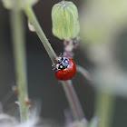 Spotless Ladybug Beetle
