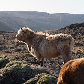 Scottish Cows by Luke Albright - Animals Other Mammals ( sky, cloudy, cows, livestock, hills, animals )