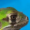 Saban Painted Black Iguana