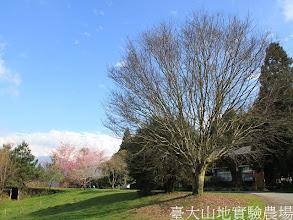 Photo: 拍攝地點: 梅峰-伴月坡 拍攝植物: 青楓(右) 櫻花(左) 拍攝日期:2012_03_02_FY