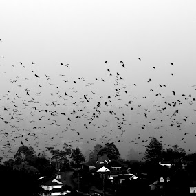 Bats by Harrison Steele - Animals Other Mammals ( b&w, bats, black and white, storm )