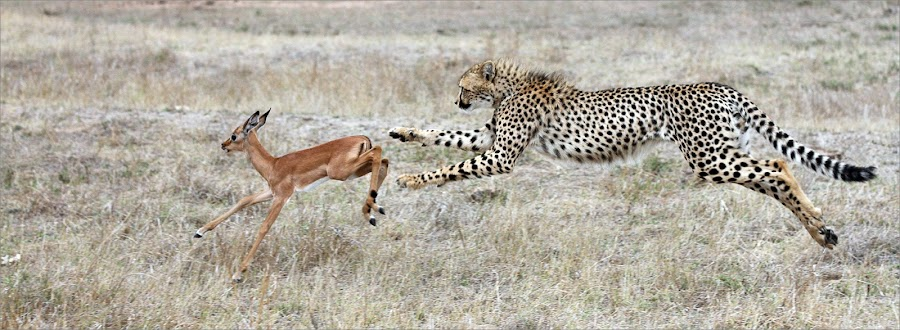 The chase by Johann Harmse - Animals Lions, Tigers & Big Cats ( nature, cheetah, animals, big cats, big cat )