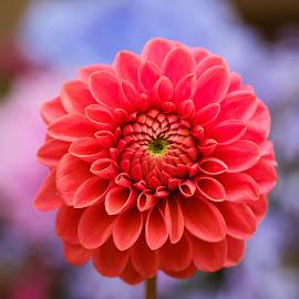 Red Dahlia #9 by Jim Downey - Flowers Single Flower ( red, blue, dahlia, shapes, petals )
