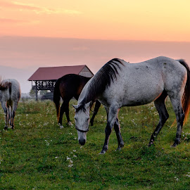 Horses Eating a Grass in a Field by Daniel Tomanovič - Animals Horses ( horse, sky, field, romantic, grass, sunset, horses )