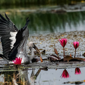 Asian Openbill Stork 2.jpg