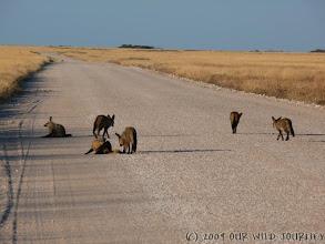 Photo: Liška v Etoshe / Bat-eared fox in Etosha