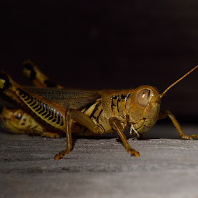 Backyard Insect by Raymond Umlas - Animals Insects & Spiders ( insect )