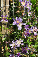 Photo: Clematis 'Blue River' syn. 'Zoblueriver'