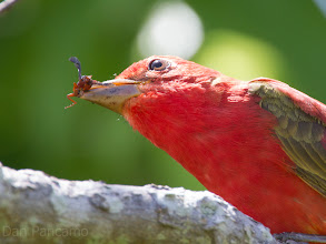 Photo: Summer Tanager - Quintana Texas Spring Migration 2012