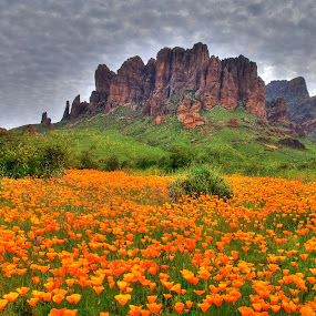 Superstition Poppies by Stephen Botel - Landscapes Deserts ( clouds, wildflowers, mountains, desert, arizona, poppies, superstitions, landscape, flowers )
