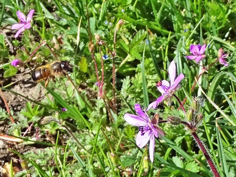 2019-05-12 LüchowSss Garten Gewöhnlicher Reiherschnabel (Erodium cicutarium) + Rote Mauerbiene (Osmia bicornis)