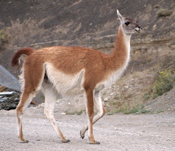 Photo: A guanaco greeted us at the gates Parque Nacional Torres Del Paine