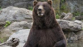 Bears Will Be Bears thumbnail