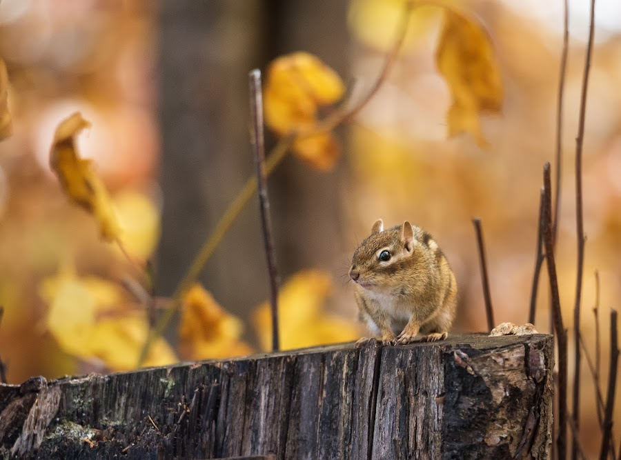 Golden Boy by Tracy Munson - Animals Other Mammals ( animals, fall colors, canada, killarney, toronto, chipmunk, wildlife, ontario, yellow, leaves, photography, provincial park, tracy munson, nature, autumn, camping, fall, gold, rodent, gta )