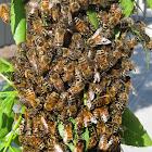 Western Honey Bee, European Honey Bee, Honeybee