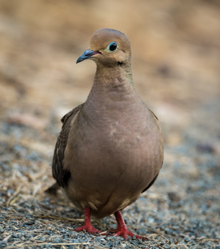 Mourning Dove by Antonio Winston - Novices Only Wildlife
