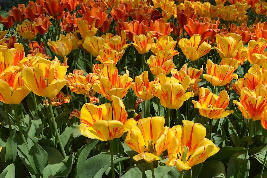 Tulips - the Queens of the Spring  by Vida Jankaitiene - Flowers Flower Gardens (  )