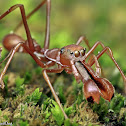 Red Weaver Ant-mimicking Spider