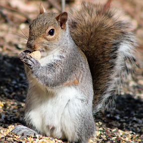 Yum by Roxanne Dean - Animals Other Mammals ( content, face, food, squirrel,  )