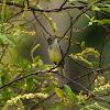 Alegrinho(White-crested Tyrannulet)