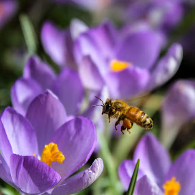 On The Verge by Shaun Groenesteyn - Novices Only Flowers & Plants ( bumble bee, nature, purple, bee, insects, flowers )