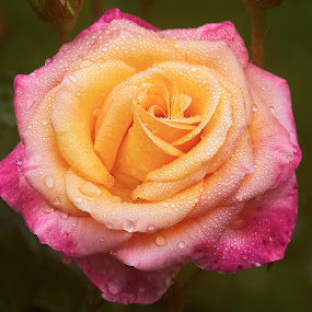 0 Rose 9822~ by Raphael RaCcoon - Flowers Single Flower