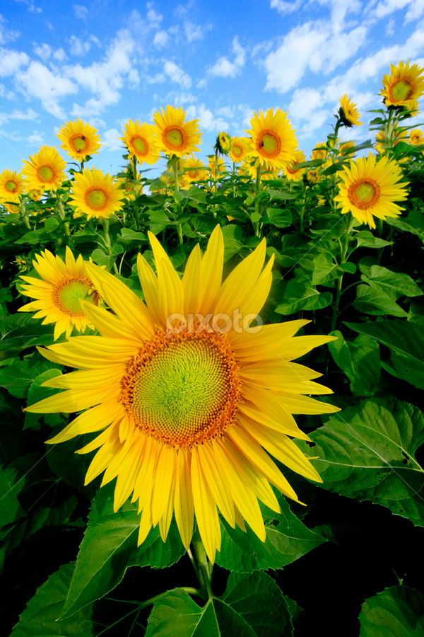 Sunflowers by John Forrant - Nature Up Close Flowers - 2011-2013