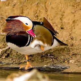 by Ramakrishnan Sundaresan - Animals Birds (  )