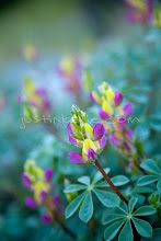 Photo: Close up of Lupine flowers along the Tuolumne River in the Sierra Nevadas, CA.