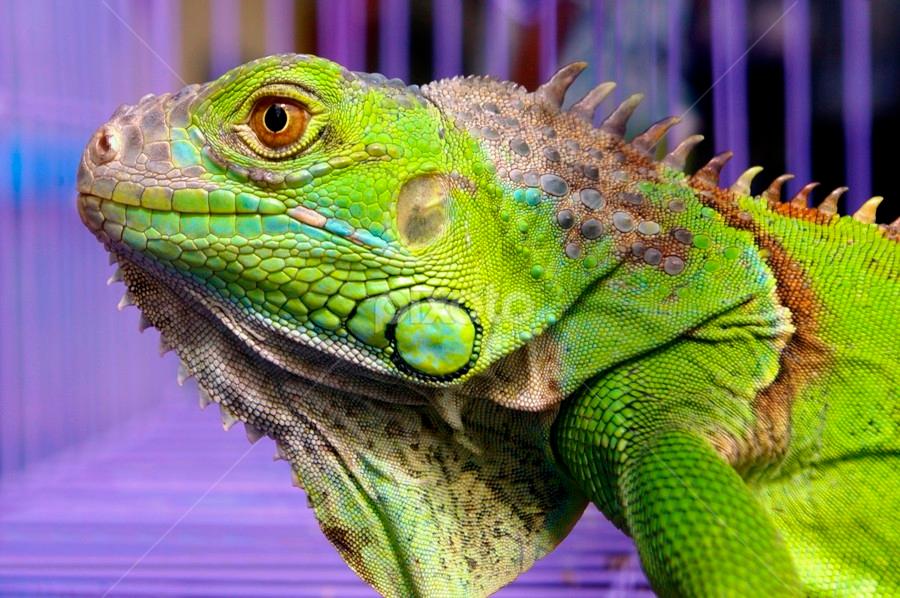 iGUANNa.... by Abdul Firdausy - Animals Reptiles