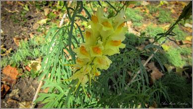 Photo: Linăriță (Linaria vulgaris) din Turda,  de pe Str. Andrei Muresanu, spatiu verde - 2018.09.11