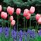 Pink Tulips and Ajuga Flowers.jpg