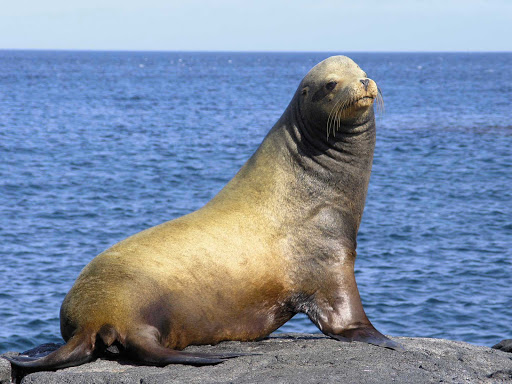 A sea lion  in the Galápagos.