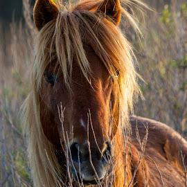 Wild Pony by Kevin Frick - Animals Horses ( horse, light, wild pony, pony )