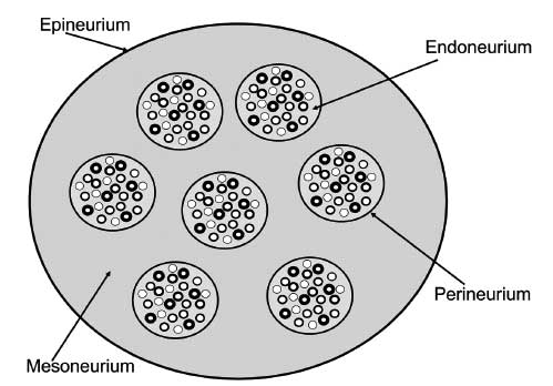 Peripheral nerve in cross section of 7 fascicles surrounded by perineurium that is ensheathed by epineurium and mesonerium