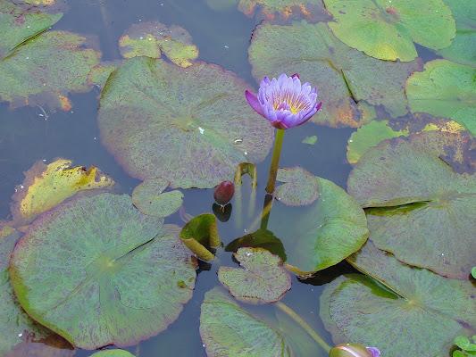 Lotus di SCB