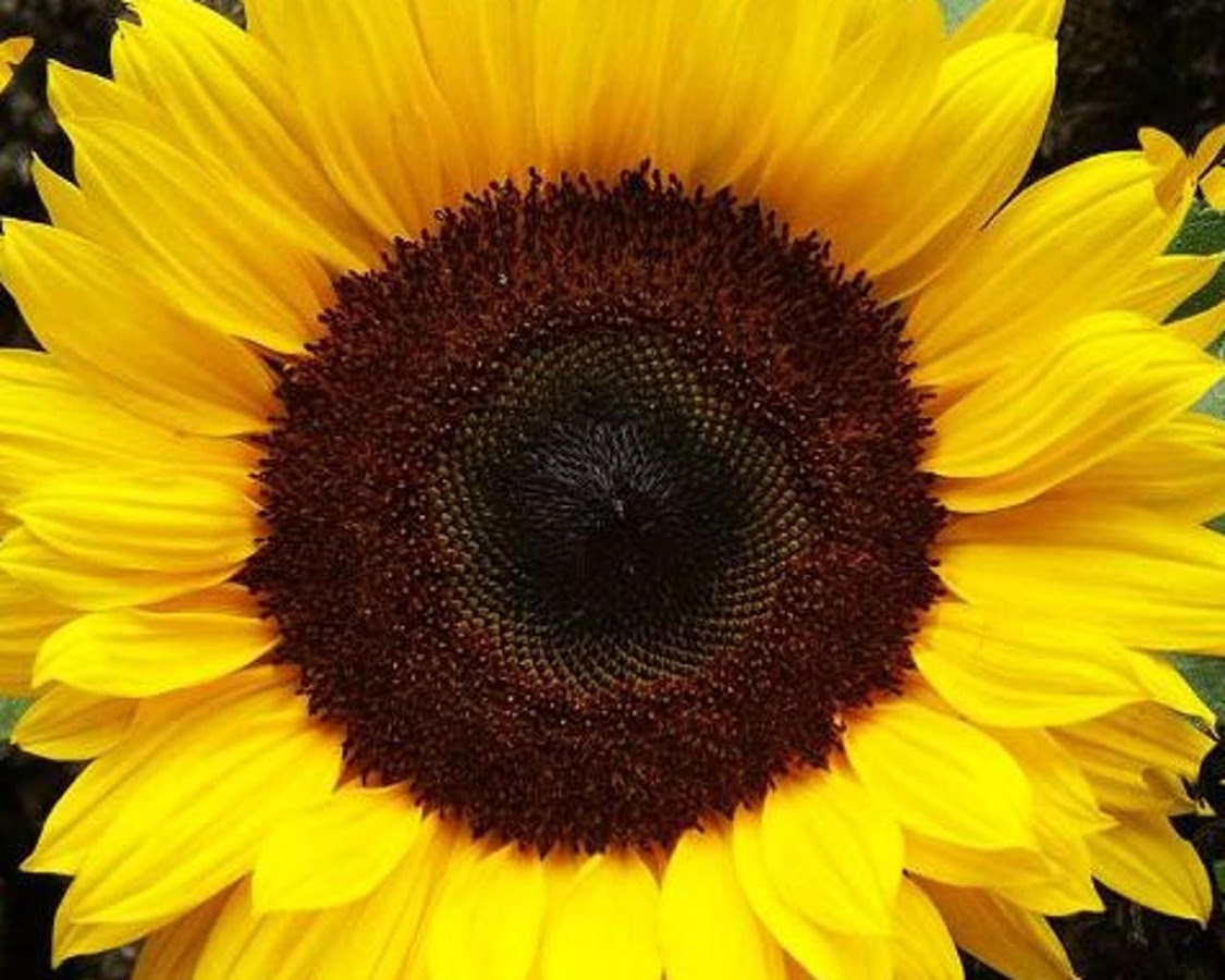 Sunflower Wallpaper Apl Android Di Google Play