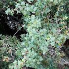 Montpellier maple
