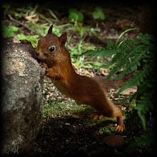 Photo: Red Squirrel  #SquirrelSaturday curated by +SE Blackwell and +Skippy Sheeskin +Squirrel Saturday